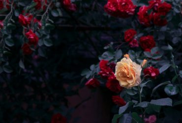 Blooming yellow and red rose flowers in mystical garden on mysterious fairy tale spring or summer floral background, fantasy nature dreamy landscape toned in low key, dark tones and shades